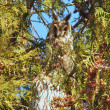Royalty-Free Stock Photo: With big ears owl on a tree