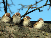 Sparrows sitting on a tree — Stock Photo