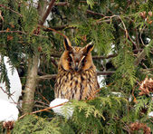With big ears owl on a tree — Stock Photo