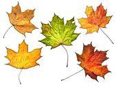 Folhas de outono isolado no fundo branco — Foto Stock