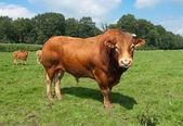 Limuzyna byka — Zdjęcie stockowe