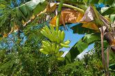 Bananenboom — Foto de Stock