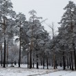 Beautiful blue pine trees covered with frost — Stock Photo #7920977