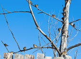 Sparrows sitting on the dead tree — Stock Photo