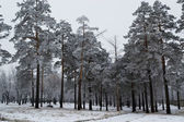 Beautiful blue pine trees covered with frost — Stock Photo