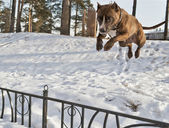 Staffordshire Terrier photographed in mid-air — Stock Photo