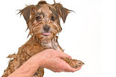 Maltese Yorkie Mix Puppy Getting a Bath — Stock Photo
