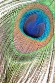 白孔雀の羽 — ストック写真
