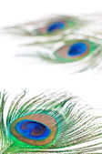 Peacock feather op wit — Stockfoto