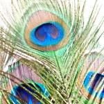 Peacock feather on white — Stock Photo