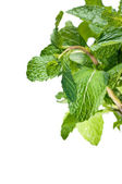 Fresh bunch of mint leaves — Stock Photo