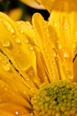Drops of water on yellow chrysanthemum — Stock Photo