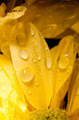 Drops of water on a chrysanthemum — Stock Photo