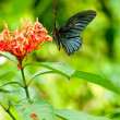 Tropical black butterfly on flowers — Stock Photo #7916692