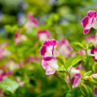 Pink and white flowers in the garden — Stock Photo