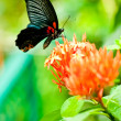 Black butterfly on tropical flowers — Stock Photo