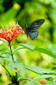Tropical black butterfly on flowers — Stock Photo