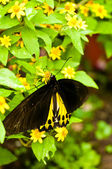 Black and yellow butterfly on yellow flowers — Stock Photo