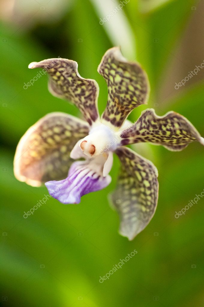 Vanda orchid close up with bokeh background of the leaves — Stock Photo #7916592