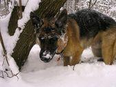 German Shepherd Puppy Dog playing in the snow — Stockfoto