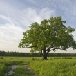 Single oak tree on the fild near to road. - Stock Photo