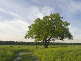 Single oak tree on the fild near to road. — Stockfoto
