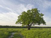 Solo árbol del roble en el fild cerca de carretera. — Foto de Stock
