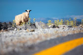 Sheep on the road — Stock Photo