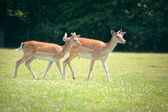 Two roe deers on a meadow — Stock Photo