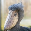 Whale-headed stork — Stock Photo #7592184