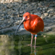 Royalty-Free Stock Photo: Scarlet ibis