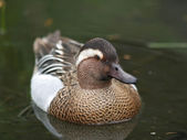 Garganey — Stockfoto