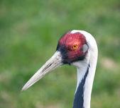 White-naped crane — Stock Photo