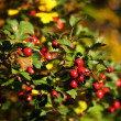 Riped scarlett hawthorn in autumn — Stock Photo #7605529