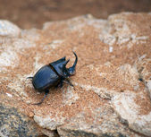 Unicorn beetle — Stock Photo
