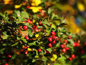 Riped scarlett hawthorn in the autumn — Stock Photo