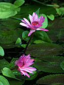 Water- lilly — Stock Photo