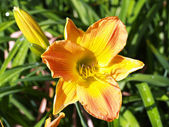 Daylily — Photo