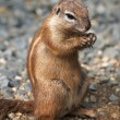 Cape ground squirrel — Stock Photo