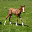 Stock Photo: Little foal