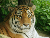 Siberian tiger — Stock Photo