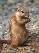 Cape ground squirrel — Stock Photo