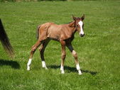 Little foal — Foto de Stock
