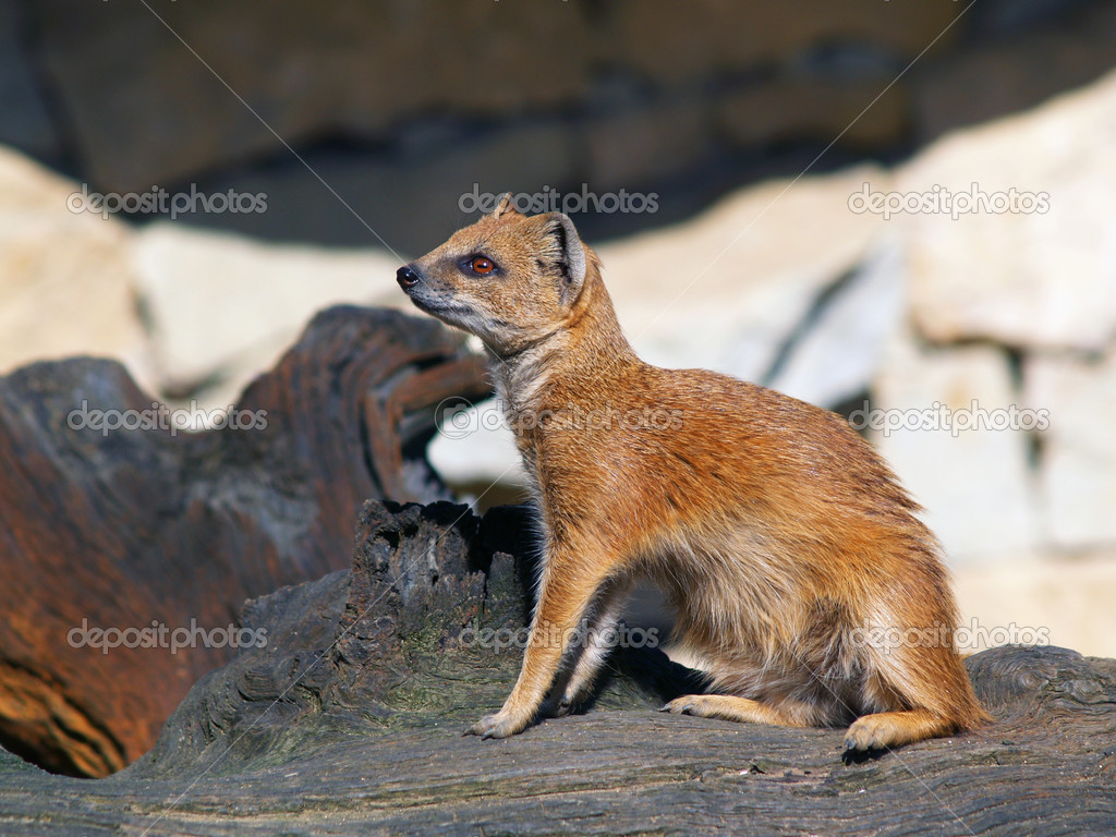 Yellow mongoose sitting on tree stump — Stock Photo #7619328
