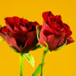 Two roses — Stock fotografie