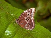 Vanessa butterfly - Morpho peleides — Stock Photo