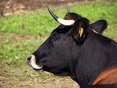 Cow on medow — Stock Photo