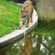 Tiger in paddock — Stock Photo