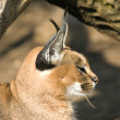 Royalty-Free Stock Photo: Caracal