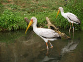 Yellow-biled storks — Stock Photo